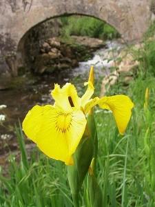450px-Iris_Pseudacorus